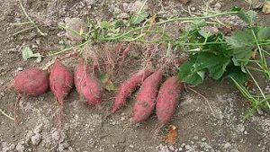 Freshly-dug sweet potato plants with tubers